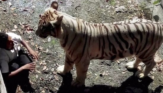 tiger kills man in india zoo